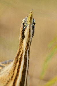 Great bittern (Botaurus stellaris) portrait. Suffolk, UK. November.  -  Oscar Dewhurst