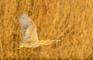 Great bittern (Botaurus stellaris) in flight over water. London, UK. December.  -  Oscar Dewhurst