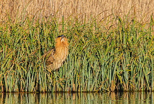 Great bittern (Botaurus stellaris) standing in reeds at the water's edge in threat posture. London, UK. February.  -  Oscar Dewhurst