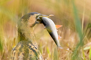 Great bittern (Botaurus stellaris) with recently caught fish prey in beak. Suffolk, UK. November.  -  Oscar Dewhurst
