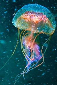 Jellyfish (Pelagia noctiluca) amongst plankton , Shetland Isles, Scotland.  -  SCOTLAND: The Big Picture