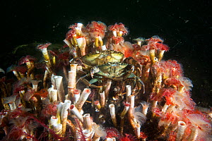 Serpulid reefs (Serpula vermicularis), Loch Creran, Scotland, UK, August. - SCOTLAND: The Big Picture