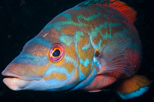 Potrait of a Cuckoo wrasse (Labrus bimaculatus) Loch Linnhe, west coast of Scotland, UK, September. - SCOTLAND: The Big Picture