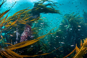 Kelp forest (Laminaria digitata) with small fish, Shetland, Scotland, UK, July. - SCOTLAND: The Big Picture