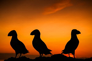 Puffins (Fratercula arctica) silhouetted at sunset on Fair Isles, Scotland, UK, June. - SCOTLAND: The Big Picture