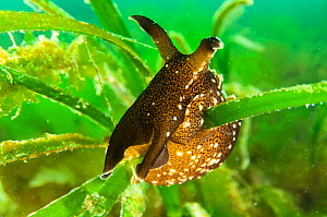 Seagrass (Aplysia punctata) bed with a sea hare, Scotland, UK, May.  -  SCOTLAND: The Big Picture