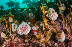 Edible sea urchins (Echinus esculentus) grazing under a kelp forest, Scotland, UK, October. - SCOTLAND: The Big Picture
