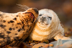 Grey seal (Halichoerus grypus) mother and pup on beach, Scotland, UK, November. - SCOTLAND: The Big Picture