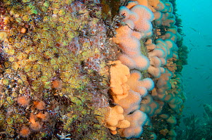 Rocky reef with Dead man's fingers (Alcyonium digitatum) community of soft corals and anemones, Scotland, UK, August.  -  SCOTLAND: The Big Picture