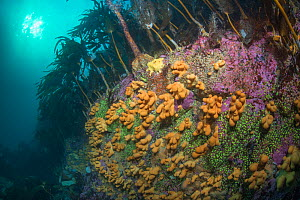 Colourful rocky reef with Dead man's finger (Alcyonium digitatum) and Kelp forest, North Sea, Shetland  -  SCOTLAND: The Big Picture