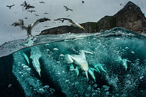 Northern gannets (Morus bassanus) diving for fish, split level shot, Shetland, Scotland, UK, September. - SCOTLAND: The Big Picture