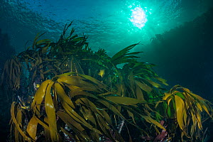 Kelp forest (Laminaria hyperborea) in the clear seas of Scotland, UK, September. - SCOTLAND: The Big Picture