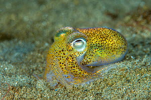 Little cuttlefish (Sepiola atlantica) on a sand, Scotland, UK. September. - SCOTLAND: The Big Picture
