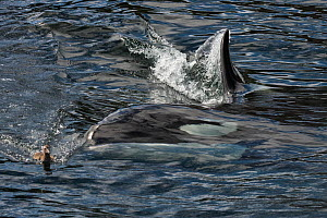 Orca (Orcinus orca) hunting an Eider duck (Somateria mollissima) chick , Shetland, Scotland, UK, July. - SCOTLAND: The Big Picture