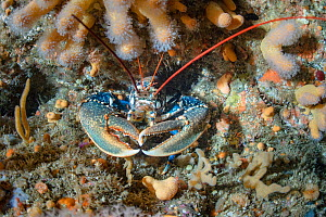 Lobster (Homarus gammarus) on a rocky reef, Shetland, Scotland, UK, August.  -  SCOTLAND: The Big Picture