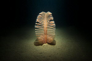 Phosphorescent sea pen (Pennatula phosphorea) at night, taken with flash, Loch Duich, Scotland, UK, January. - SCOTLAND: The Big Picture