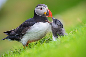 Puffin (Fratercula arctica) and a puffling begging for food, Hermaness, Shetland, Scotland, UK. July. - SCOTLAND: The Big Picture