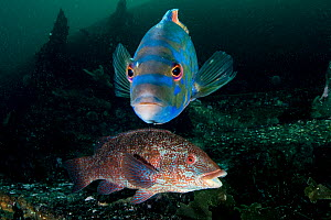 Cuckoo wrasse (Labrus bergylta) and Ballan wrasse (Labrus bergylta) on the wreck of Jayne, Shetland  -  SCOTLAND: The Big Picture