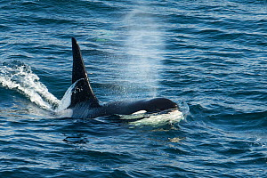 Orca (Orcinus orca) surfacing and blowing, Shetland, Scotland, UK, August.  -  SCOTLAND: The Big Picture