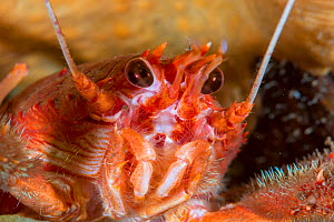 Close up of a Long clawed squat lobster (Munida rugosa) in Loch Carron, January 2016.  -  SCOTLAND: The Big Picture