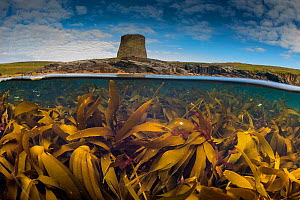 Split level view of a Kelp forest (Laminaria hyperbore) at Mousa Broch (iron age tower) Shetland, Scotland, UK, August. - SCOTLAND: The Big Picture