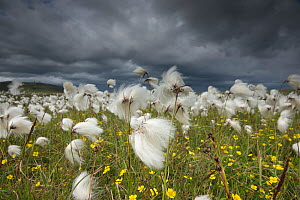 Cotton grass (Eriophorum angustifolium) flowering, Shetland, Scotland, UK, July.  -  SCOTLAND: The Big Picture