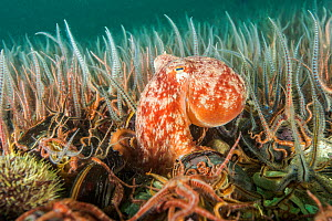 Curled octopus (Eledone cirrhosa) amongst a horse mussel bed (Modiolus modiolus) Shetland, Scotland, UK, August.  -  SCOTLAND: The Big Picture
