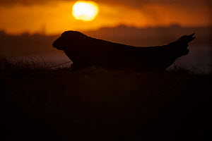 Grey seal (Halichoerus grypus) silhouetted at sunrise, over looks a breeding beach on Orkney, Scotland, UK, April. - SCOTLAND: The Big Picture