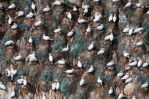 Gannets (Morus bassanus) nests with the blue representing discarded rope and fishing nets incorporated into the nests, Shetland, Scotland, UK, June. - SCOTLAND: The Big Picture