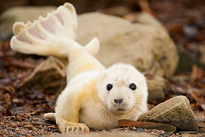 Young grey seal pup (Halichoerus grypus) recently born on a beach in Orkney, Scotland, UK, April.  -  SCOTLAND: The Big Picture