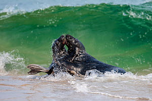 Two adult bull Grey seals (Halichoerus grypus) fighting in the surf on a beach, Scotland, UK. May. - SCOTLAND: The Big Picture