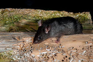 Black rat (Rattus rattus) there is an eradication program to remove these pests, and protect seabird colonies, Shaint Isles, Western isles, Scotland, June.  -  SCOTLAND: The Big Picture
