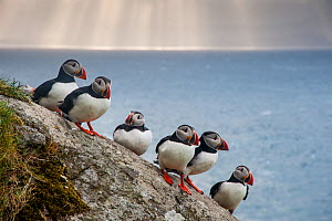 Puffins (Fratercula arctica) Shaint Isles, Scotland, UK, June.  -  SCOTLAND: The Big Picture