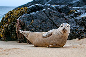 Young Grey seal (Halichoerus grypus) resting on a beach on the Island of Mingulay, Scotland, UK, May. - SCOTLAND: The Big Picture