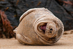 Grey seal (Halichoerus grypus) resting on a beach on the Island of Mingulay. Scotland, May. - SCOTLAND: The Big Picture