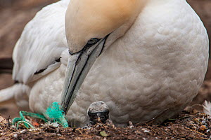 Gannet (Morus bassanus) with a chick attends to the nest that has discarded rope or fishing net in it, Shetland, Scotland, UK, June. - SCOTLAND: The Big Picture