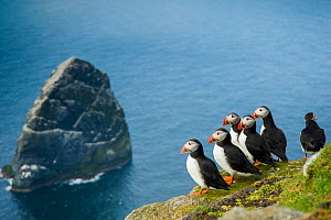 Puffins (Fratercula arctica) looking out from the island of Boreray to Stack Lee, St Kilda, Scotland, UK, May. - SCOTLAND: The Big Picture