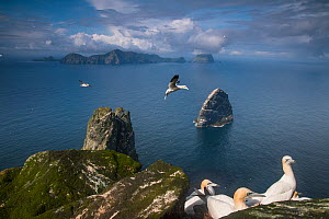 North gannets (Morus bassanus) on Boreray looking out to Stack Lee and the main island Hirta, St Kilda, Scotland, UK, May. - SCOTLAND: The Big Picture