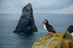 Puffin (Fratercula arctica) looking out towards Stack Lee from the island of Boreray, St Kilda, SCotland, UK, May. - SCOTLAND: The Big Picture