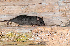 Black rat (Rattus rattus) - there is an eradication program to remove these pests, and protect seabird colonies, Shaint Isles, Western isles, Scotland, June.  -  SCOTLAND: The Big Picture