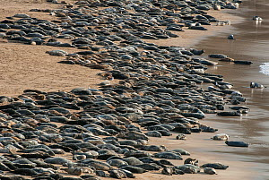 Grey seal (Halichoerus grypus) huge group hauled out on a beach, Island of Mingulay, west coast of Scotland. May.  -  SCOTLAND: The Big Picture