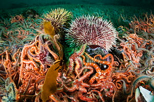 Horse mussel bed (Modiolus modiolus) with Brittle stars (Ophiothrix fragilis),Edible crab (Cancer pagurus) and Northern sea urchin (Strongylocentrotus droebachiensis) Sheltand Islands, Scotland, UK, S...  -  SCOTLAND: The Big Picture