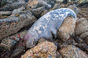 Dead male Grey seal (Halichoerus grypus) which has shot, Shetland Isles, Scotland, UK, March. - SCOTLAND: The Big Picture