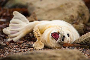 Young grey seal pup (Halichoerus grypus) recently born, on beach in Orkney, Scotland, April.  -  SCOTLAND: The Big Picture