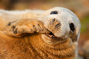 Grey seal (Halichoerus grypus) pup on a breeding beach, Orkney, Scotland, UK, April.  -  SCOTLAND: The Big Picture