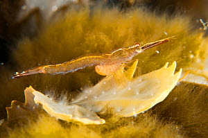 Mysid on algae (Fucus serratus), Shetland Isles, Scotland, UK, June. - SCOTLAND: The Big Picture