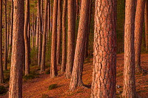 Scot's pine forest (Pinus sylvestris), in late evening light, Abernenthy Forest, Cairngorms National Park, Scotland, UK.November - SCOTLAND: The Big Picture