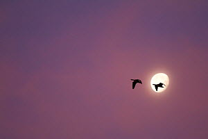 Greylag Geese (Anser anser) two silhouetted at dawn against moon, Scotland, UK.November  -  SCOTLAND: The Big Picture