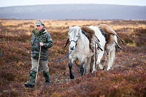 Traditional deer stalking using Highland ponies to carry deer carcass off hill, Scotland, UK.December - SCOTLAND: The Big Picture