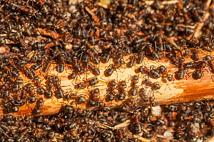 Hairy Wood Ant colony (Formica lugubris) , Abernethy, Scotland, UK.May  -  SCOTLAND: The Big Picture